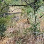 Leopard, spotted walking across the road, then through the bushes