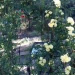 Banks Rose on the Garden Gazebo.
