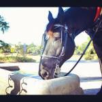 Merlin, our handsome Percheron