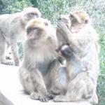 Famille de singes magots