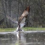 Fishing osprey at Rothiemurchus fishery