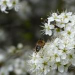Hoverfly species on Blackthorn blossom