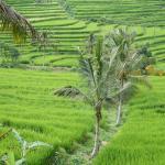 Photo of Padi Bali