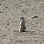 prarie dogs playing