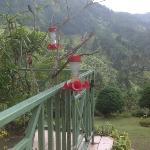 Red-billed Streamertail aka Doctor Bird in Blue Mountains