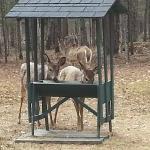 Deer - feeding station