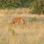 Game Drive Photo - Hyena