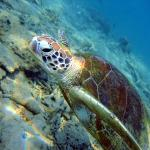 Turtles at Balinghai, Boracay