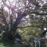 境内の大樹