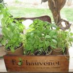 thriving herb box, thanks to Dorothy's green thumb!