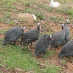 Resident guinea fowls
