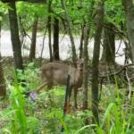Deer behind Birdsong Cottage
