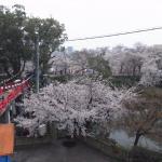 お掘りと桜