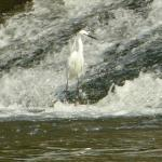 An Egret at Lopwell Dam