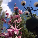 цветение магнолий