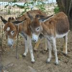 Antigua's Donkey Sanctuary