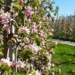 Wandererlebnis Apfelblüte