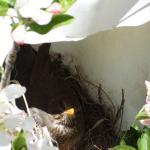 Amselnest in den Baumblüten