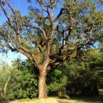 Beautiful tree on Sacred Springs property.