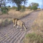One of the 3 brother lions we saw