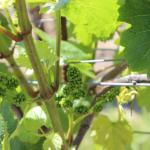Some pre-season grapes