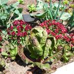 Cabbage from the veg garden