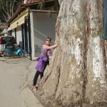 in der Nähe vom Dorfzentrum ! Eukalybtusbaum !