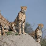 Wildlife photos during game drives on the Chitabe Concession