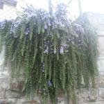 Zakvitnutý rozmarín