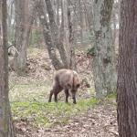 A animal in the wood that look like a boar but is a type of deer there.