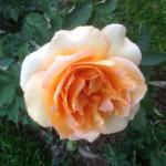 Les superbes roses