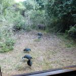 Warthog and guinea fowl outside lodge 2 kitchen