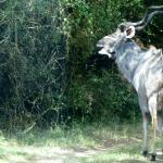 Kudu on path to Lodge