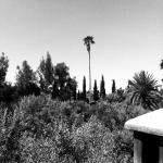 Les palmiers s'élancent devant l'Atlas