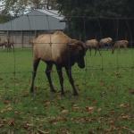 Oraka Wapiti Deer Park