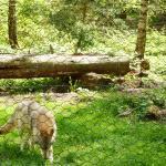 Wolfspark Werner Freund (Merzig), Wolfsichtung nicht garantiert