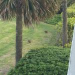 bunnies eating on the lawn outside our balcony