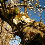 En face de notre emplacement un cerisier en fleur