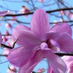 Magnolias were everywhere