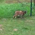 Les chèvres qui donnent côté jardin