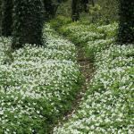 Wood Anemone Trail
