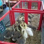 Marché aux volailles de Louhans, mai 2015