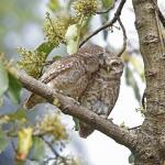 Owlets at Gamcha