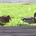 Morning visit from ducks