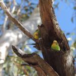 nesting budgies 2014