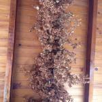 Houblon au plafond