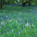 Hirsel in May. A magical carpet of bluebells