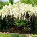 Wisteria hanging over the arbor