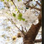 Our cherry blossom