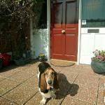 Lily the bassett hound